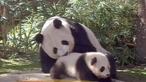 VIDEO: Should We Let the Pandas Die?