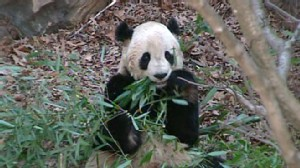 VIDEO; Giant Panda Tai Shan Will Leave the National Zoo for China Early Next Year