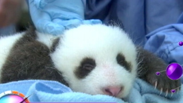 VIDEO: The newborn panda has no name, but the zoo will take suggestions.