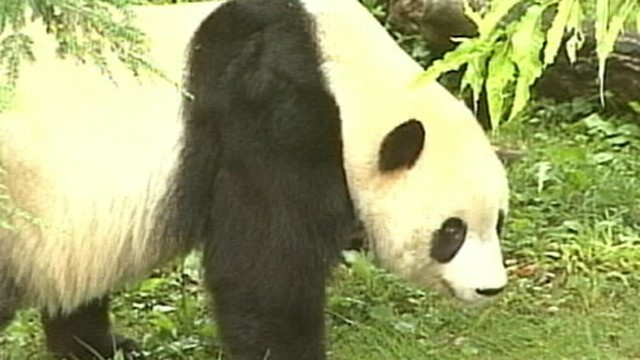 VIDEO: Suzanne Murray discusses the first birth of a panda there since 2005.