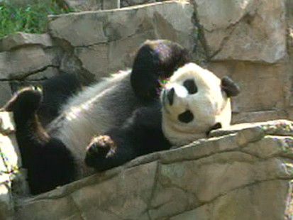 VIDEO: Wildlife expert argues Pandas should be allowed to go extinct.
