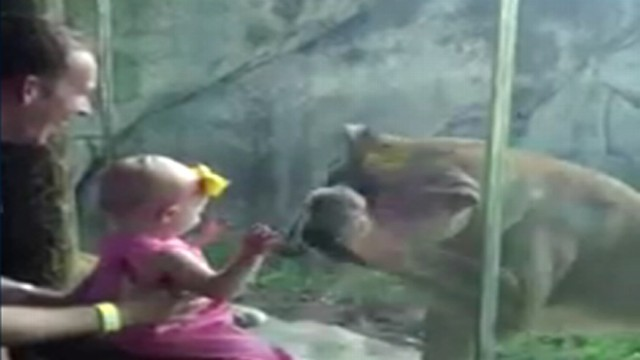 Watch what happens when a lion meets two babies at the Kansas City Zoo.
