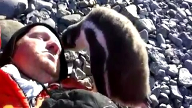 VIDEO: Watch how the penguin reacts to the human being in his Antarctica home.