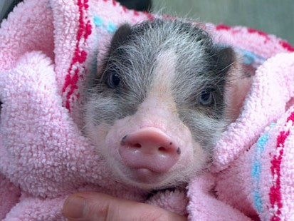 VIDEO: Mini-Pigs are the new pet trend