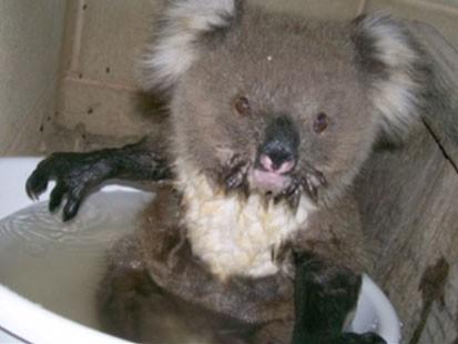 VIDEO: A baby koala in a pail of water.