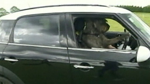 VIDEO: A program funded by the SPCA is teaching some rescue dogs how to drive retrofitted cars.