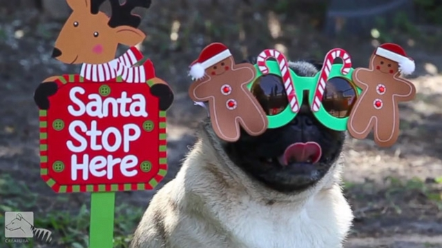 VIDEO: Adorable Pugs Celebrate Christmas