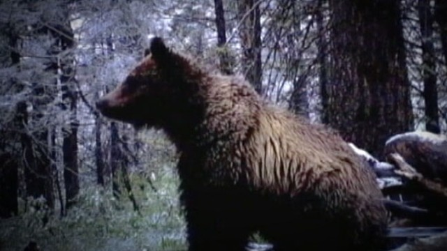 VIDEO: Officials in Idaho say the attacks were both reactions to human encroachment on the bears area.