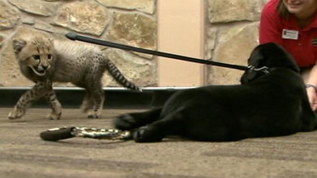 cheetah cubs grow up alongside a puppy video