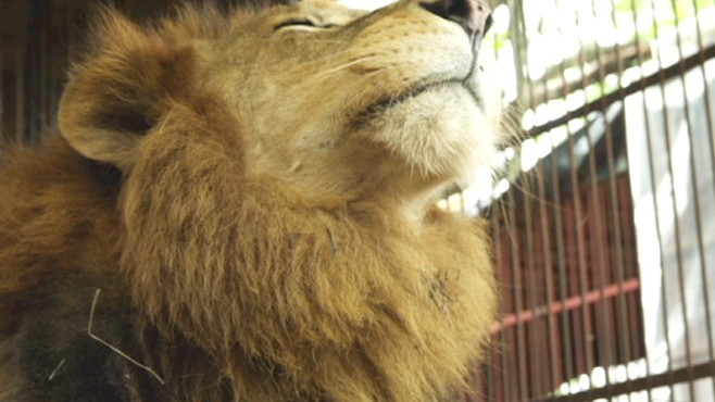 VIDEO: Large-scale rescue mission saves 25 former circus lions from Bolivia.