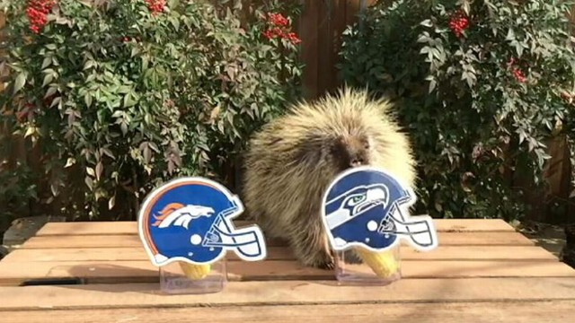 VIDEO: Porcupine Makes Super Bowl Prediction