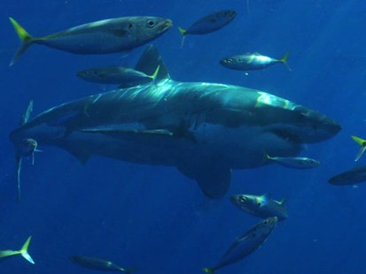 VIDEO: Underwater With Great Whites