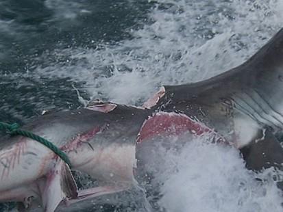 VIDEO: Protecting Sharks in Australia