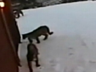 Watch: Mountain Lions Prowl Right Outside Homeowner's Window