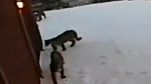 VIDEO: Mountain Lions Prowl Outside Home