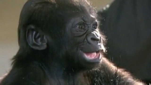 VIDEO: Orphaned Gorilla Adopted by New Mom