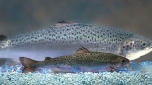 VIDEO: The salmon are injected with a growth hormone that environmentalists criticize.