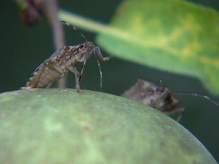 Watch: Stink Bugs Move Inside as Temperatures Drop