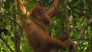 VIDEO: Endangered Species in Sumatra