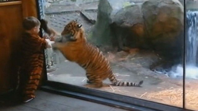 VIDEO: Toddler in Tiger Costume Taunts Real Life Tiger Cub