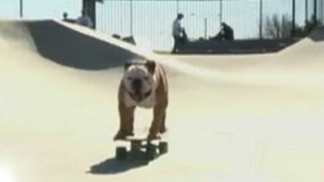VIDEO: Bulldog is world famous for his surfing and skateboarding skills.