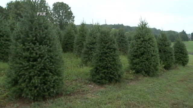 VIDEO: Root Rot Threatens Christmas Fir Trees