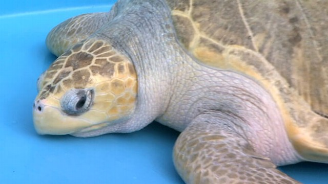 VIDEO: Myrtle the sea turtle was nursed back to health after getting lost in ocean.