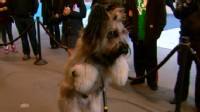 Dog famous for learning to ride a scooter shows off for Good Morning America.