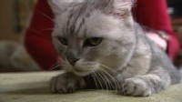 VIDEO: One cat has captured the worlds attention with his extremely noisy purr.