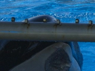 Watch: Killer Whale at San Diego SeaWorld Has Mysterious Wound