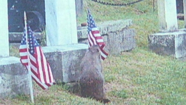 VIDEO: Hudson, N.Y. officials believe the woodchuck was taking the flags into his underground home.