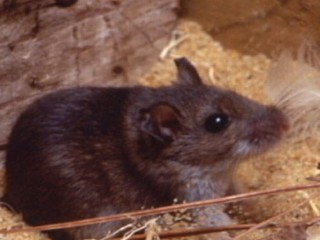 Watch: Mice Linked to Hantavirus Outbreak at Yosemite National Park