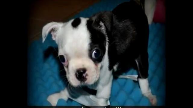 VIDEO: Boston Terrier Puppys First Steps