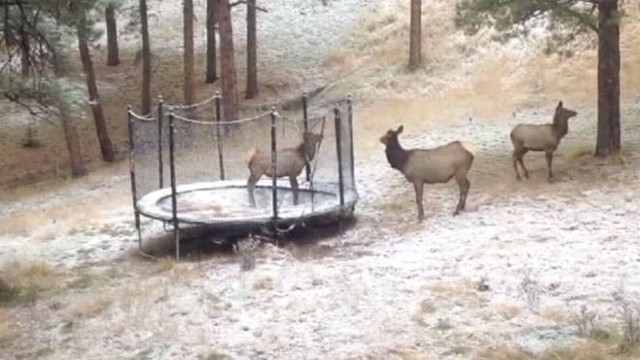 VIDEO: Elk Jumps on Familys Trampoline
