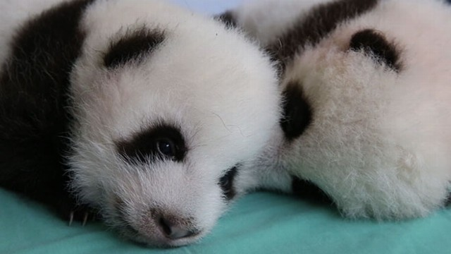 VIDEO: Cute Alert! Twin Panda Cubs Get a Check Up