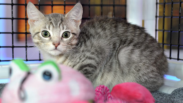 """PHOTO:A kitten is shown on """"Good Morning America,"""" Aug. 15, 2011."""