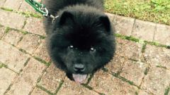 VIDEO: Misiu Green, a 3-month-old Chow Chow puppy, was reported missing this week in North London.