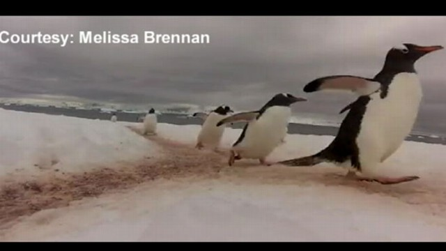 VIDEO: Watch what happens when penguins cross paths.