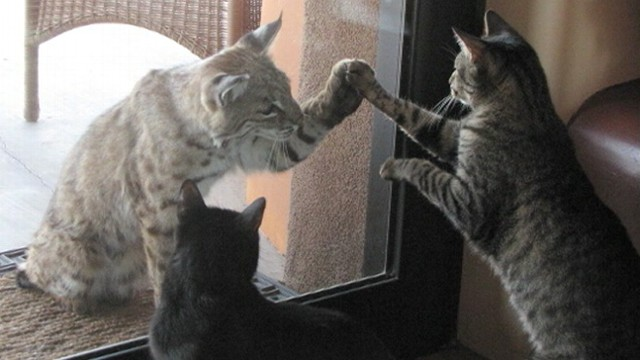 VIDEO: A bobcat and a domestic house cat in Arizona tried to touch paws through a glass door.