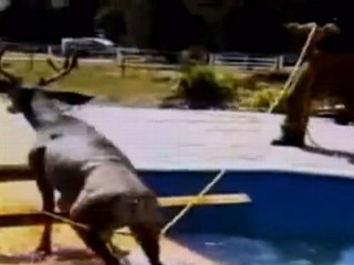 Watch: Deer Rescued From Colorado Pool