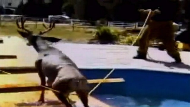 VIDEO: Workers used a ramp and rope to nudge the buck from the swimming pool.