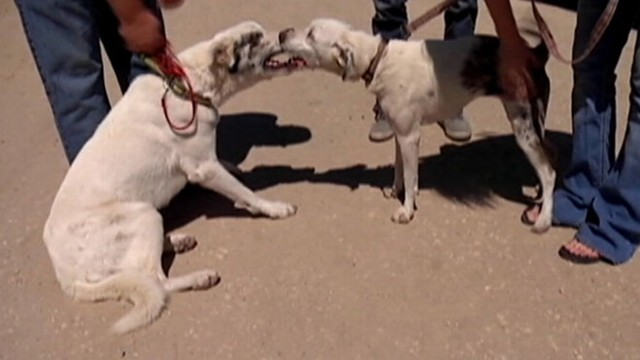 VIDEO: Two deaf shelter dogs that lean on each other for support are taken in by a California woman.