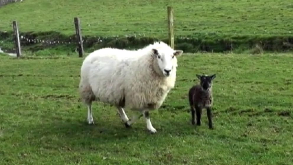"Irish farmer describes the ""geep"" as ""a goat, trapped in a lambs body."""