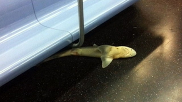VIDEO: Surprised straphangers aboard the N train snapped pictures of the four-foot long shark.