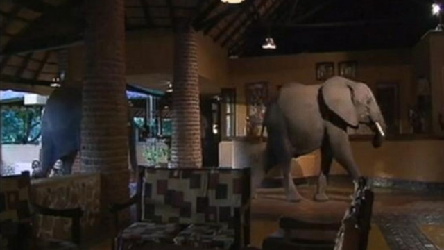 Massive animals cut through Mfuwe Lodges reception area on their way home.