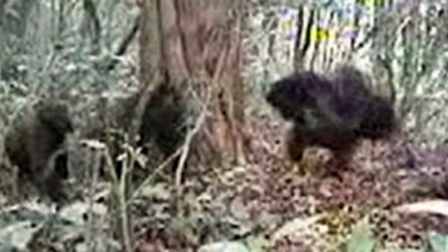 VIDEO: A camera placed in a forest in Cameroon has captured footage of rare gorillas.
