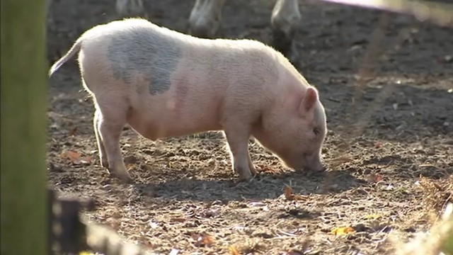 VIDEO: A New Jersey high schools mascot has yet to be caught after resurfacing at a farm.