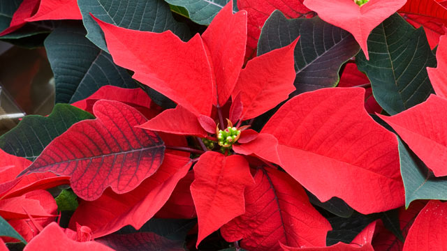 PHOTO: Poinsettia are show