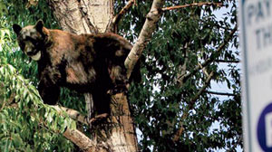 "Photo: Bear Invasion! Aspen Sees Tenfold Increase in Bear Sightings: Officials Tell Residents to be ""Mean"" to the Bears"