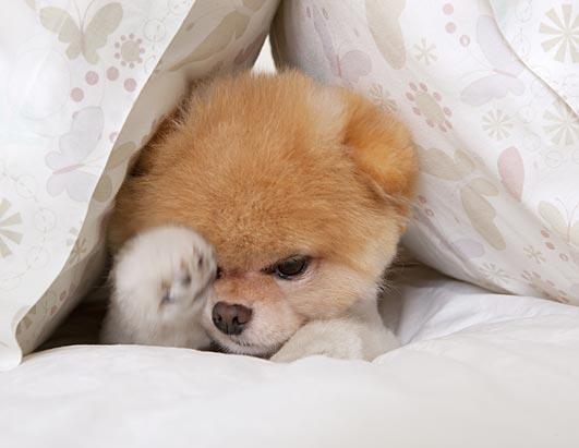 Boo The Life Of The World S Cutest Dog Photos Abc News